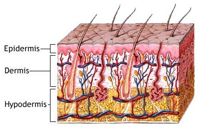 Skin Layers in Skin Rejuvenation
